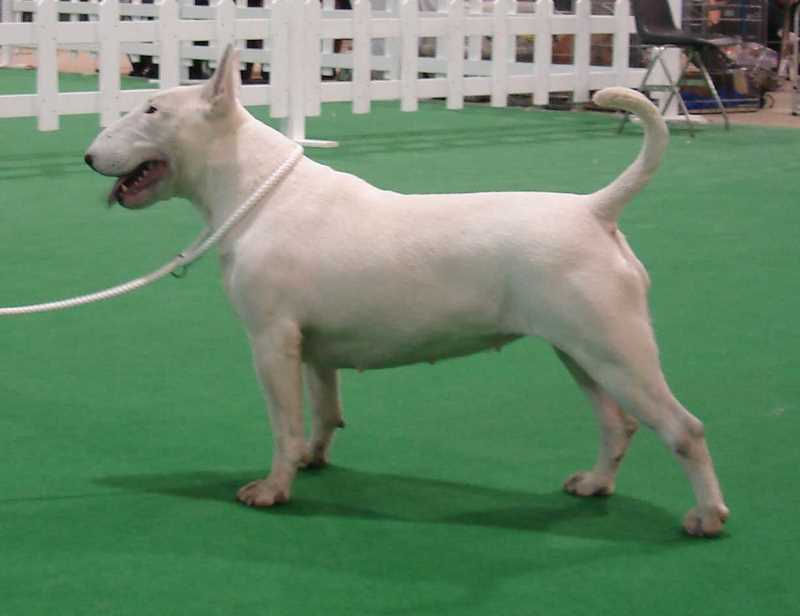Bull Terrier might of gibraltar allevamento the lucifers bull