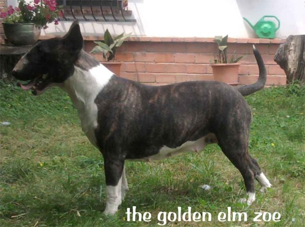 Bull Terrier zoe allevamento the lucifers bull